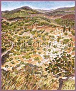 Study of olive trees in the northern Galilee, 2011