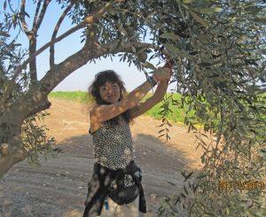Pruning an olive tree at Kibbutz Gezer, 2013