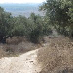 Ancient olive grove at Tzipori, Israel
